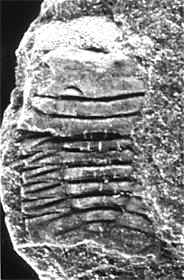 Ellipsotaphrus monophthalmus (KLOUCEK 1916), Lower Llanvirn, Ordovician, Ebbe Anticline, Germany.